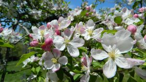 Spiritual Psychic Reading Apple Blossums picture taken by Bill Weber