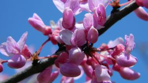 Spiritual Psychic Reading pink crab apple blossoms picture